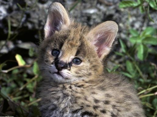 800-African_Serval_Kitten
