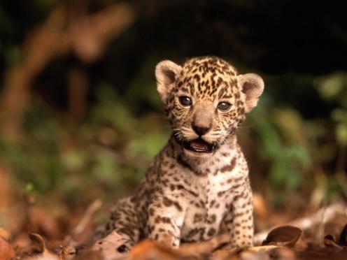 800-Jaguar_Kitten
