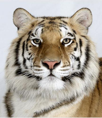 Bengal-tigers-Matsu-a-2-y-005