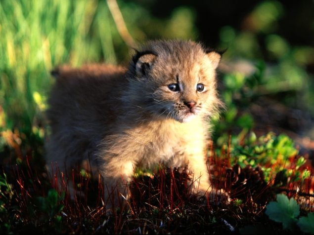 canada-lynx-kitten-pictures