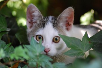 Cat_in_the_Ivy_by_Wild_Soul