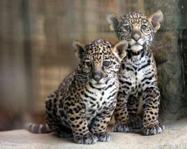 jaguars_gallery__470x376
