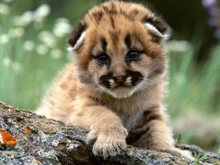 Mountain_Lion_Cub