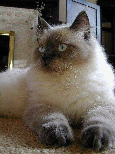 ragdoll-cat-facts-21
