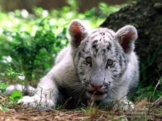 White tiger cub stalking